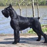 Ризеншнауцер щенки чёрного окраса, Уфа