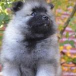 Породные щенки вольфшпица (кеесхонда), Уфа