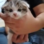Вислоухие котята, Уфа